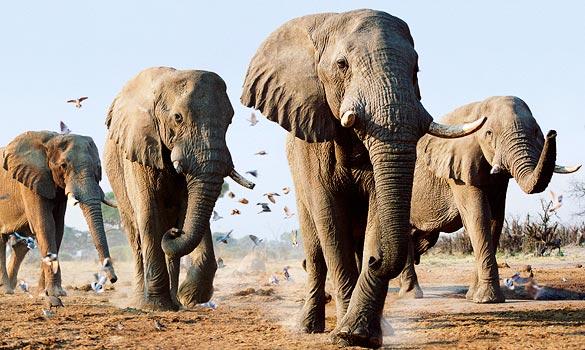 elefanti pericolosi