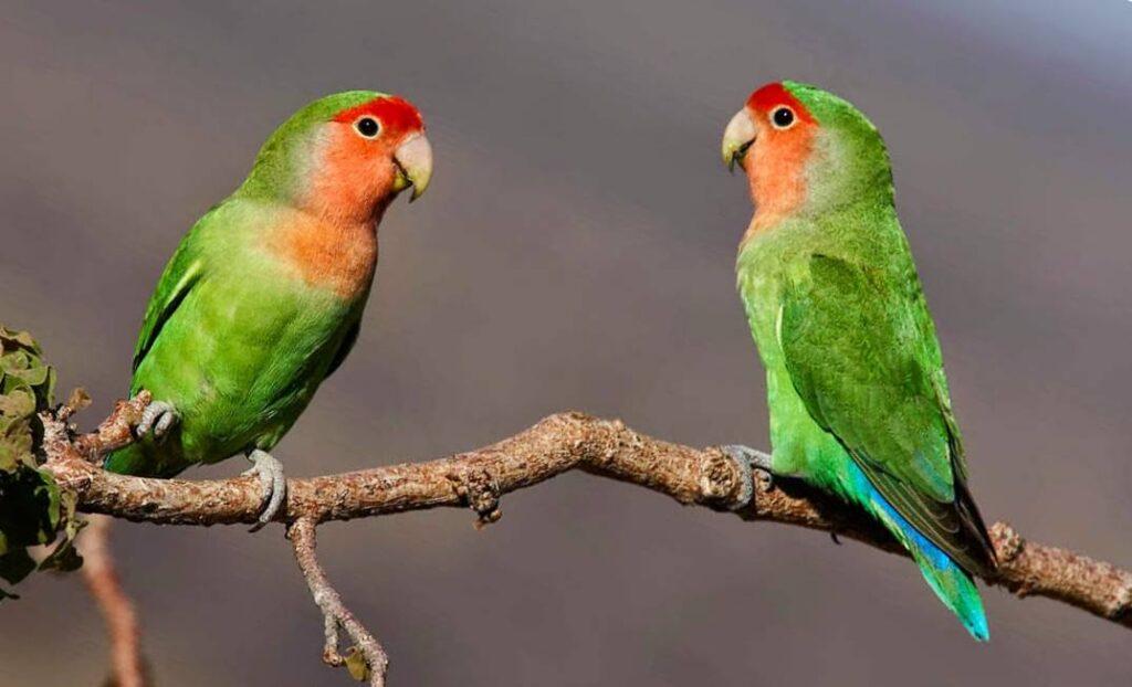 Wanted campagna antiviolenza su animali: salvati pappagallini mutilati